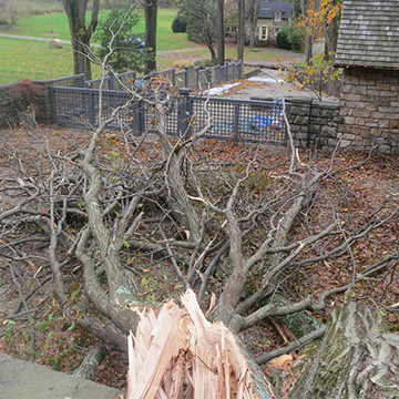 Large fallen tree in a yard after a storm